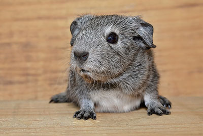 guinea-pig-smooth-hair-young-animal-black-and-white-agouti-large_BEW